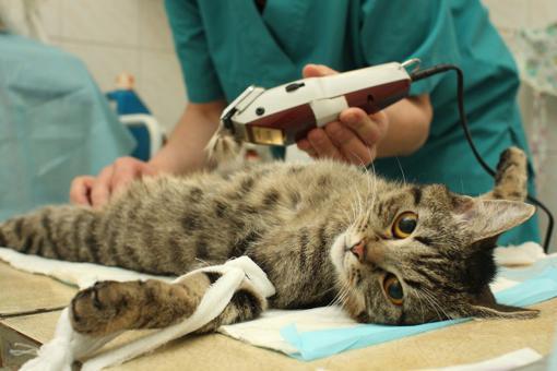 castration du chat