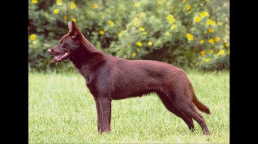 chien kelpie