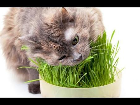 l herbe à chat
